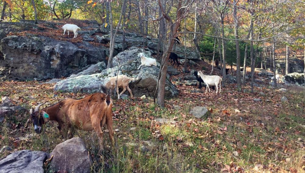 horseshoecanyonranch_goats_coffeetapeclimb